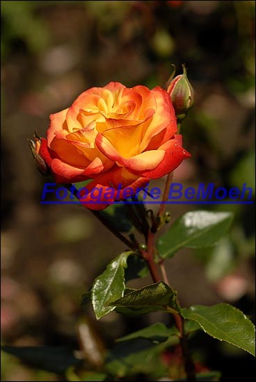 rosen-0161