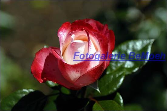 rosen-0162