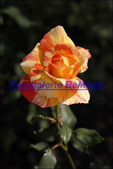rosen-0164