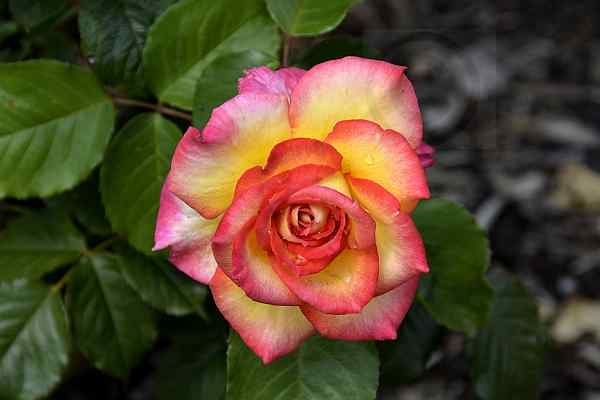 rosen-0170