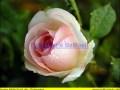 rosen-regen-002
