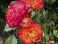 rosen-regen-006