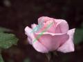rosen-regen-008