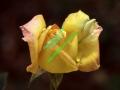 rosen-regen-011