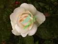 rosen-regen-013