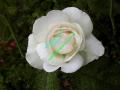 rosen-regen-014