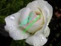 rosen-regen-015