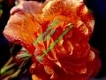 rosen-regen-019