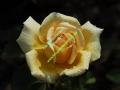 rosen-regen-033