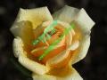 rosen-regen-034