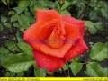 rosen-regen-038