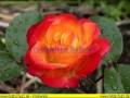 rosen-regen-041