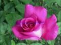 rosen-regen-043