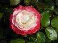 rosen-regen-045