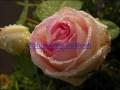 rosen-regen-051
