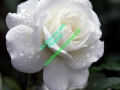 rosen-regen-010