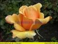 rosen-regen-020