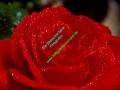 rosen-regen-022