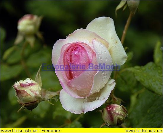 rosen-regen-001