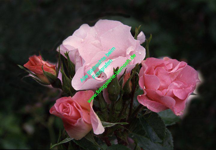 rosen-regen-005