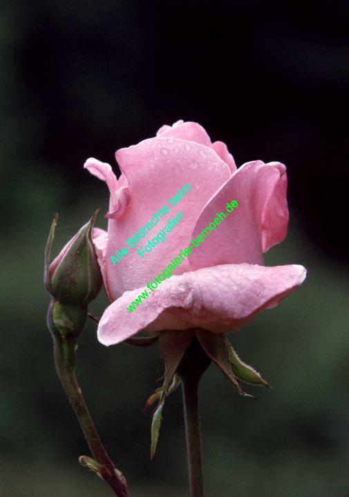rosen-regen-009