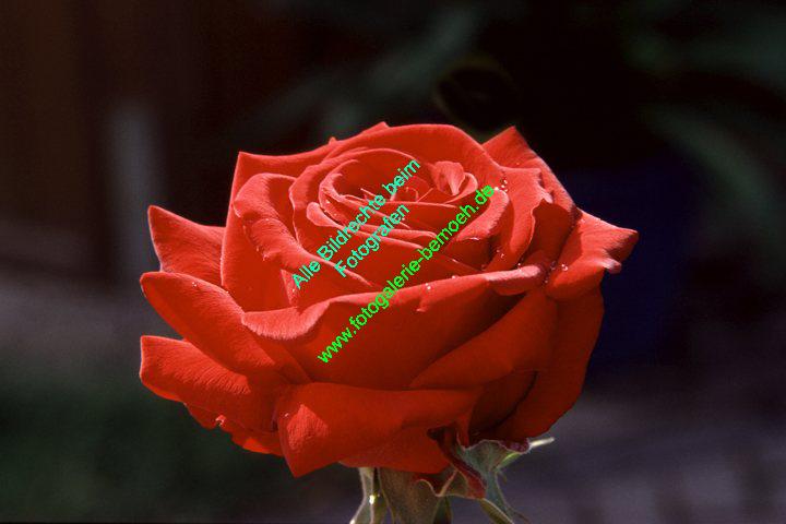 rosen-regen-021