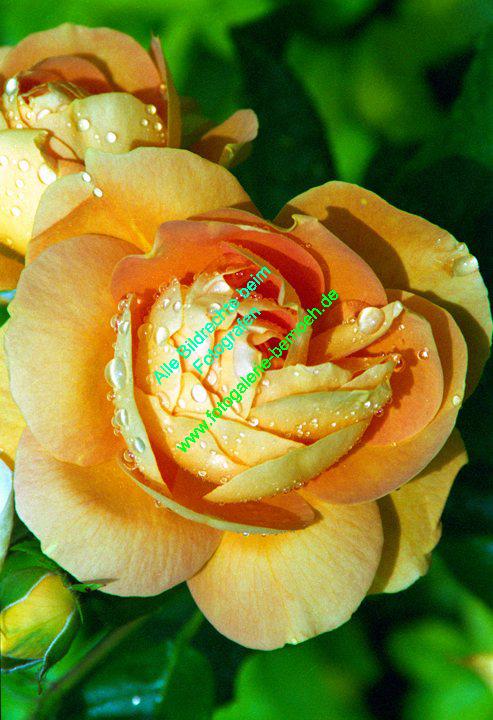 rosen-regen-025