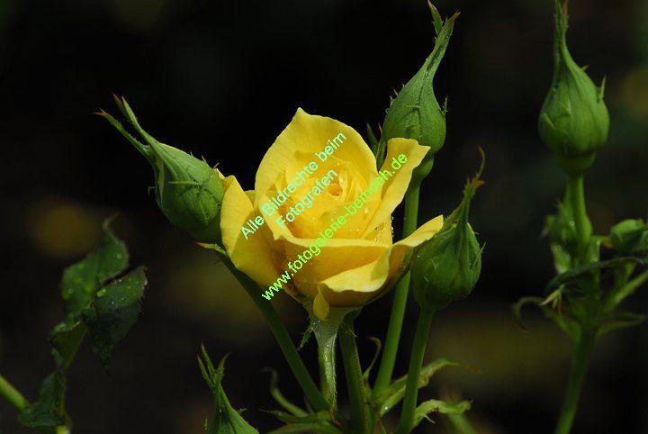 rosen-regen-026