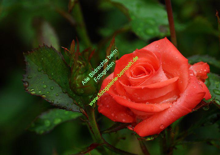 rosen-regen-027