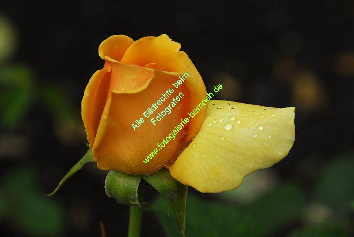 rosen-regen-028