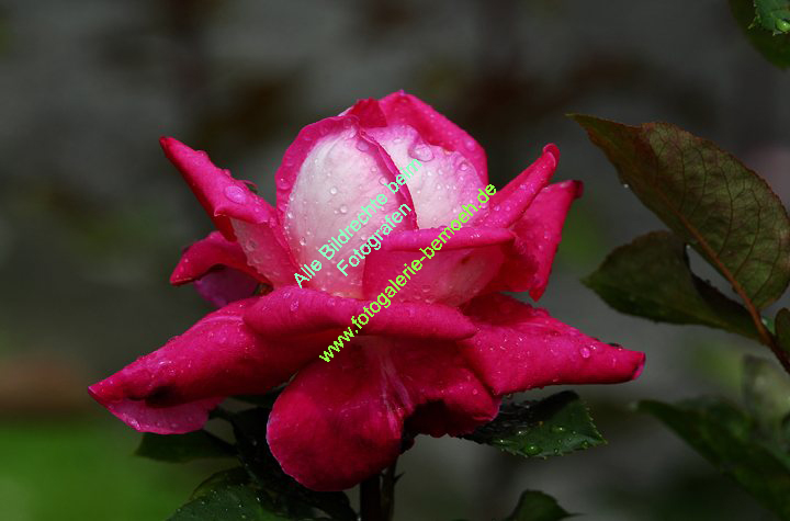 rosen-regen-030