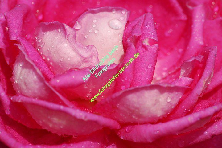 rosen-regen-031
