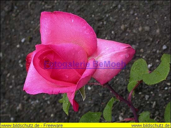rosen-regen-032