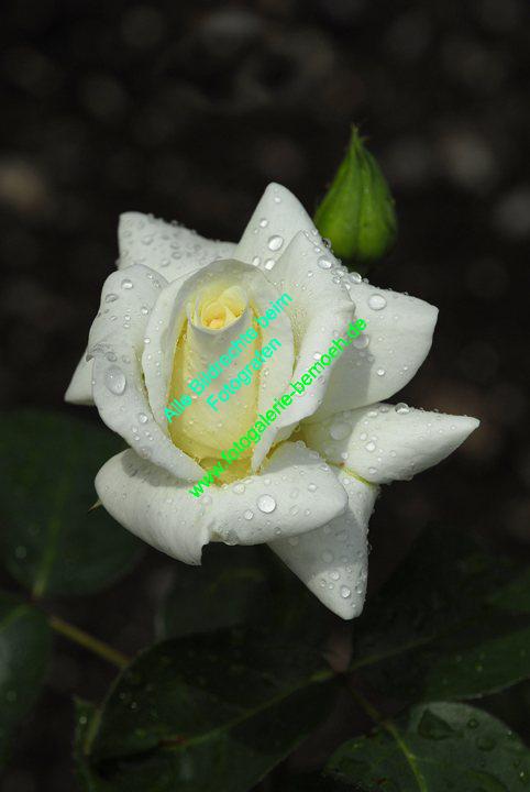 rosen-regen-035