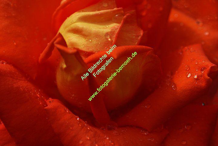 rosen-regen-036