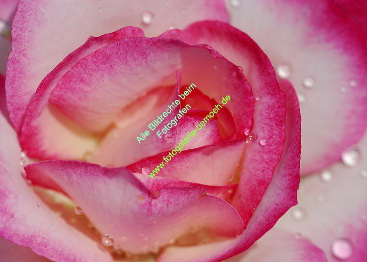 rosen-regen-039