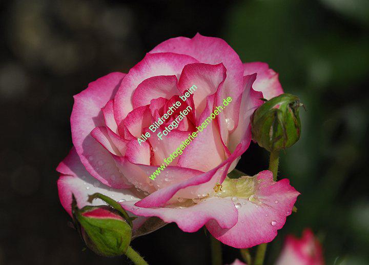 rosen-regen-040