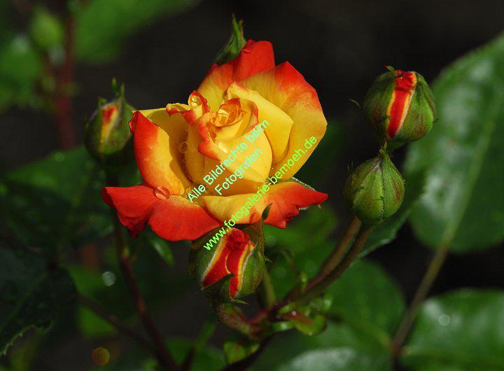 rosen-regen-042