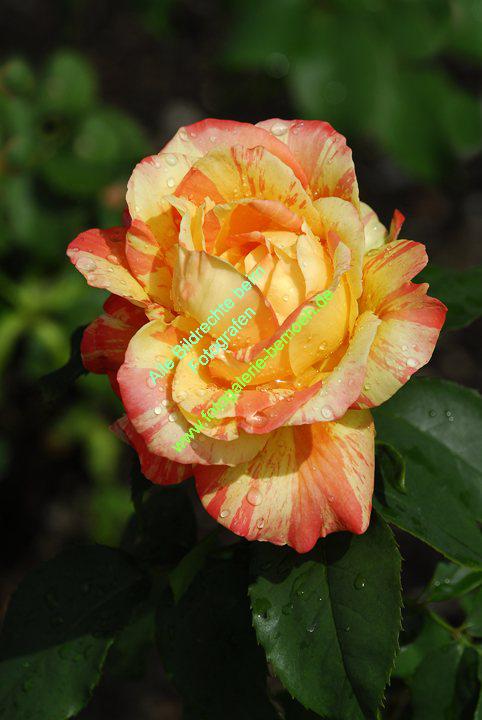 rosen-regen-046
