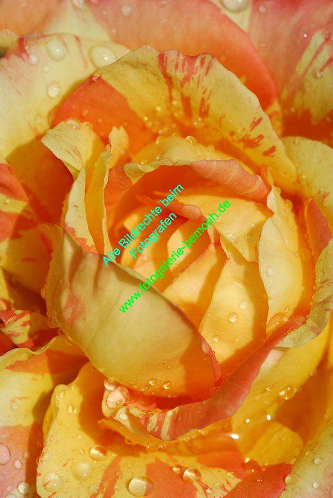 rosen-regen-047