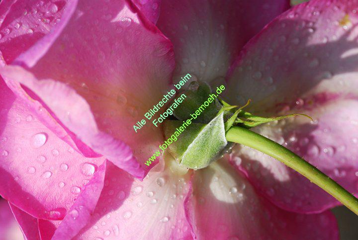 rosen-regen-048