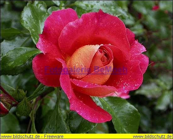 rosen-regen-050