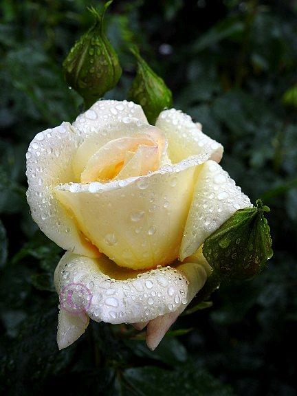 rosen-regen-052