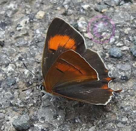 Birkenzipfelfalter-Nierenfleck