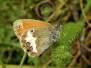 Schmetterlinge - Heimisch