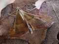 Geflammter Kleinzünsler-Endotricha flammealis