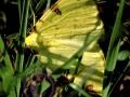 Gelbspanner
