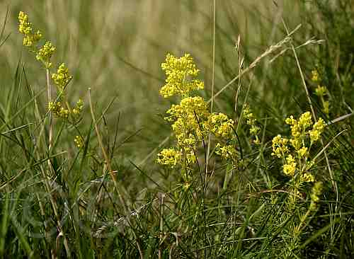 0220-Echtes Labkraut - Drover Heide