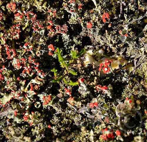 0223-Flechte-Cladonia floerkana