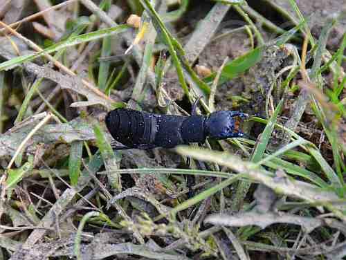 0224-Schwarzer Moderkäfer-ocypus nero